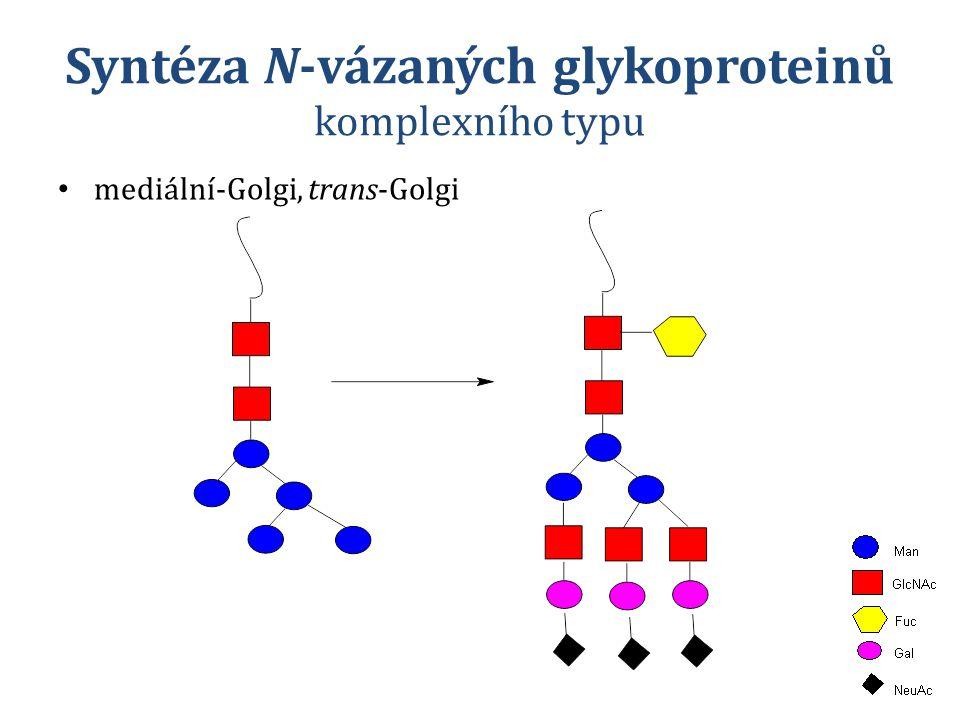 Syntéza N-vázaných glykoproteinů komplexního typu