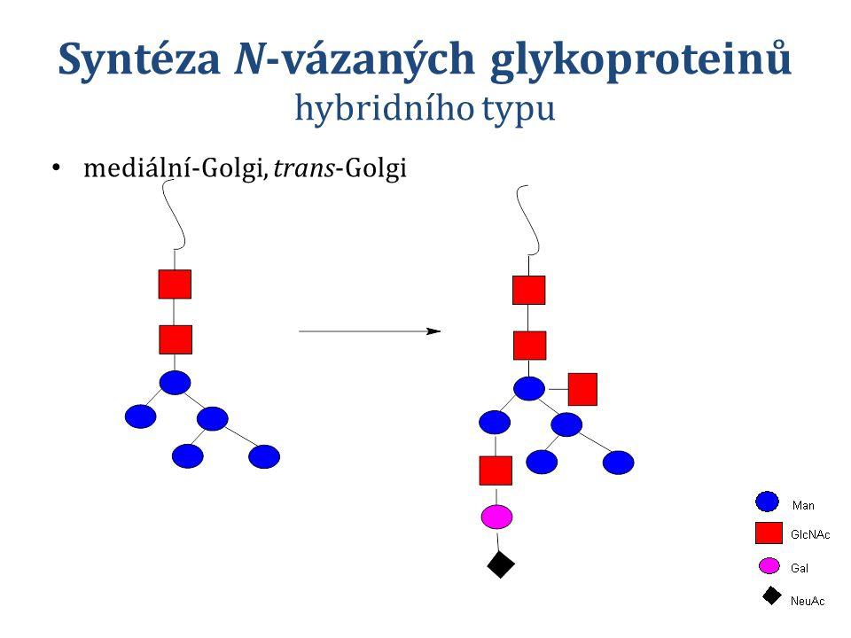 Syntéza N-vázaných glykoproteinů hybridního typu