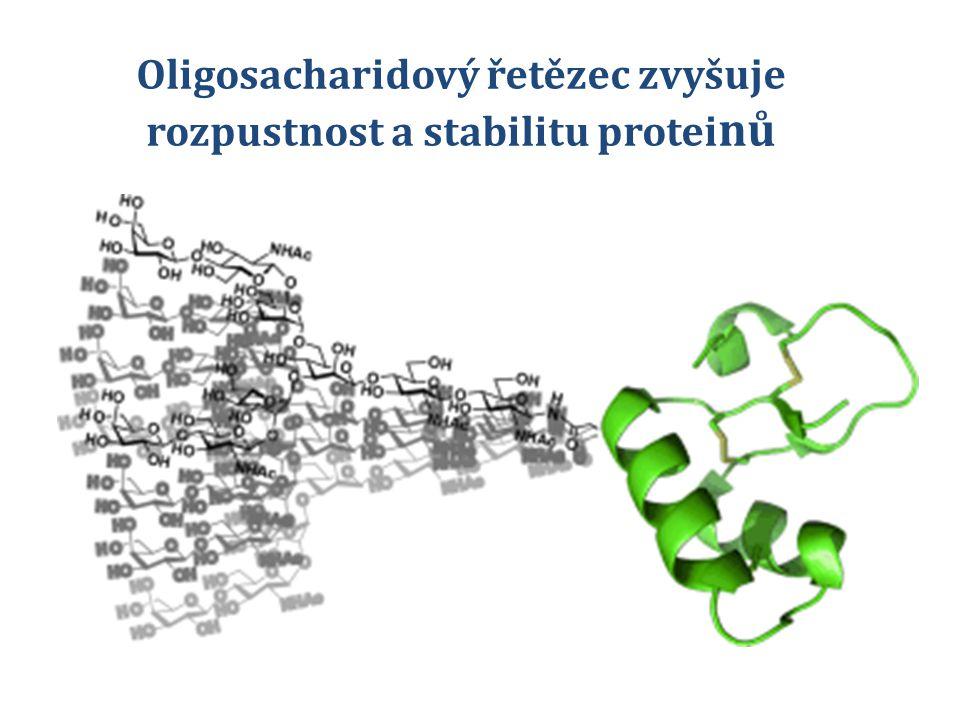Oligosacharidový řetězec zvyšuje rozpustnost a stabilitu proteinů