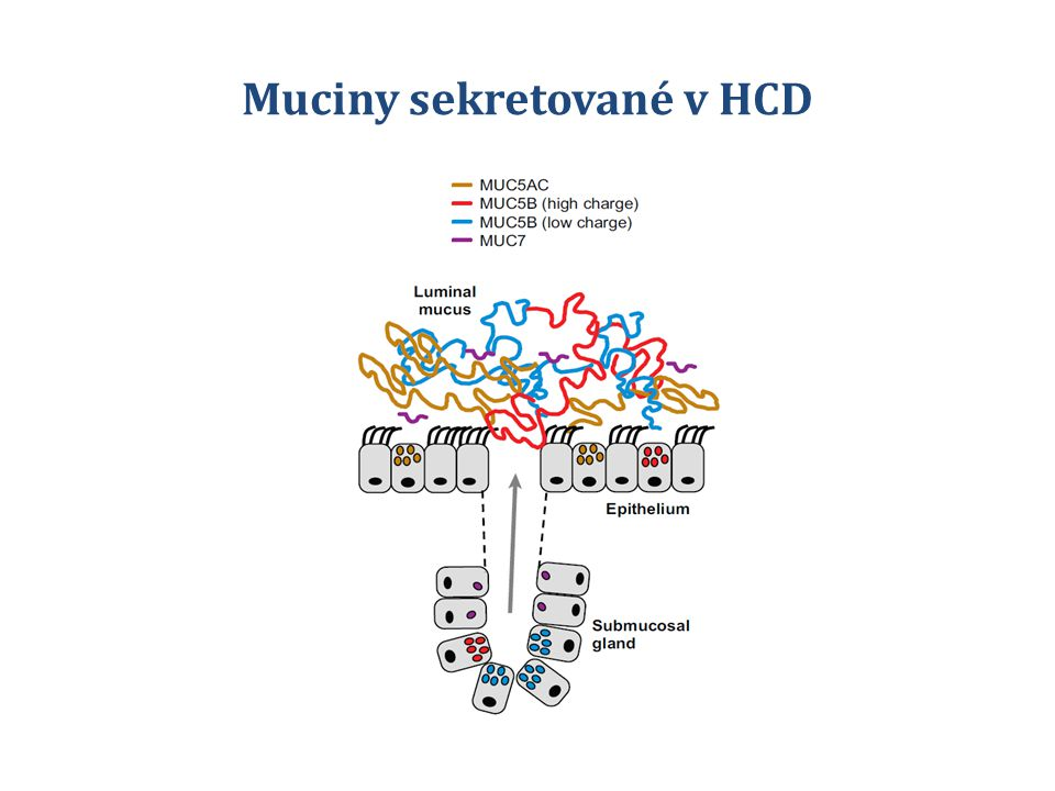 Muciny sekretované v HCD