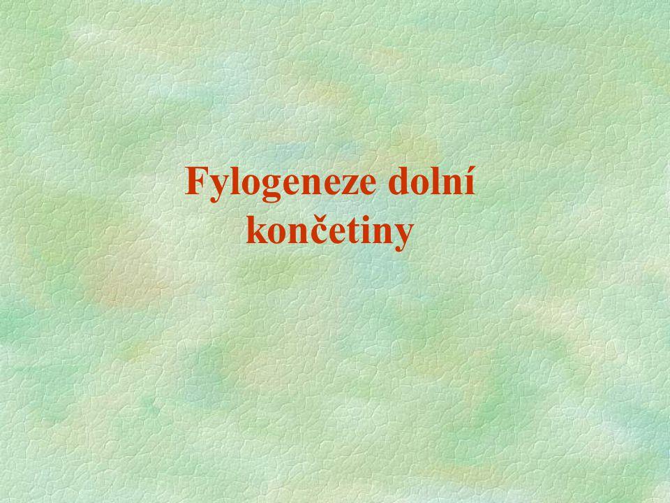 Fylogeneze dolní končetiny