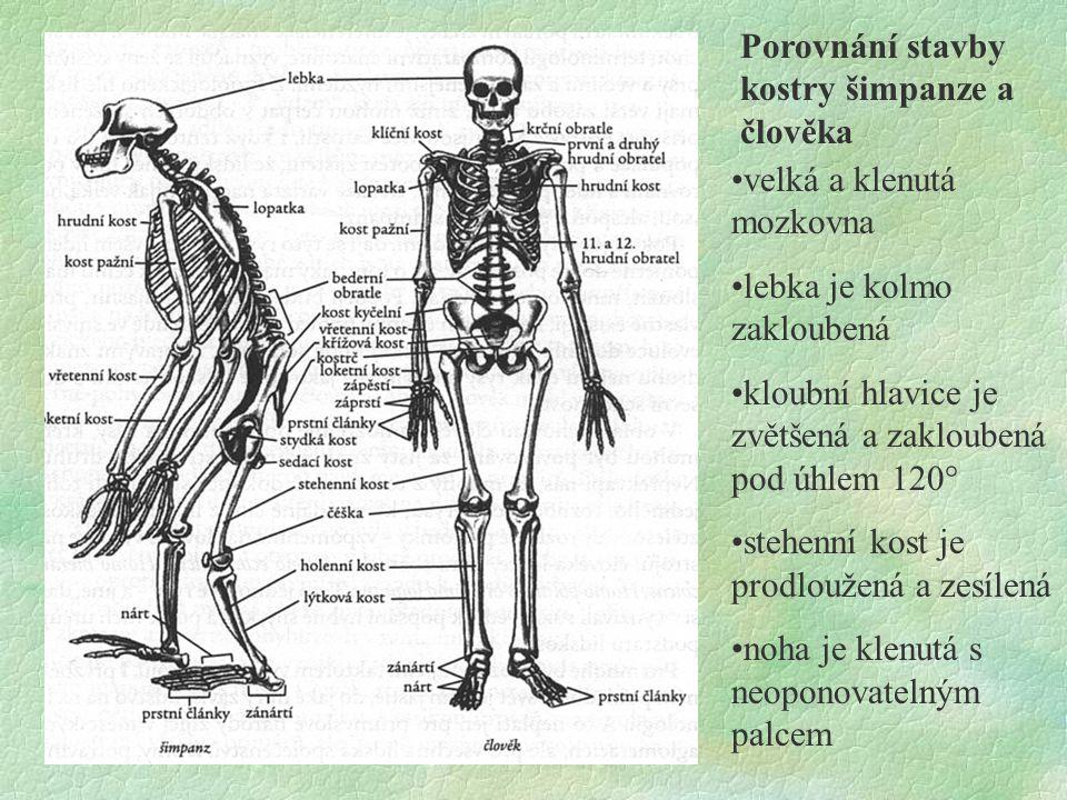 Porovnání stavby kostry šimpanze a člověka