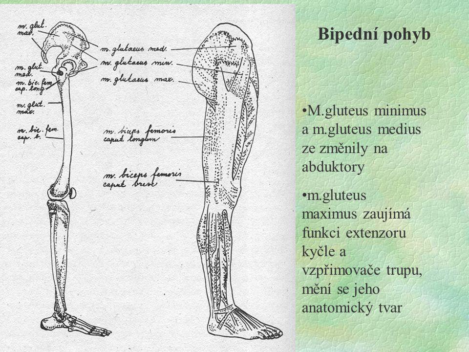 Bipední pohyb M.gluteus minimus a m.gluteus medius ze změnily na abduktory.