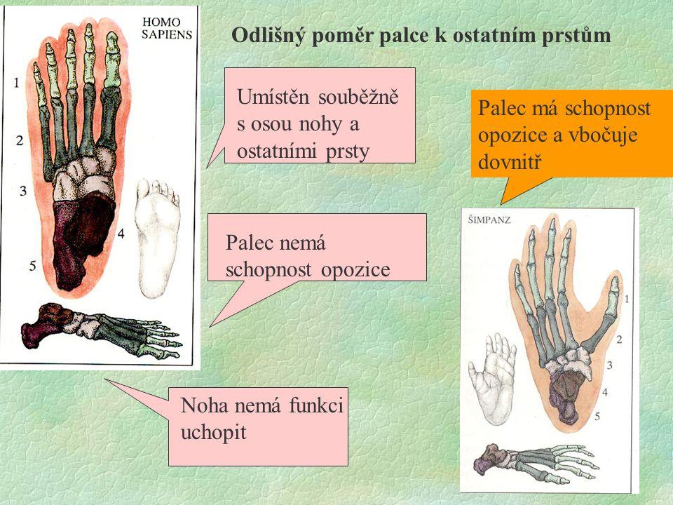 Odlišný poměr palce k ostatním prstům