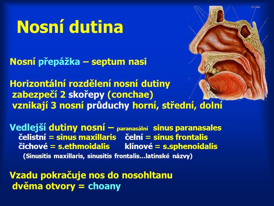 Nosní dutina Nosní přepážka – septum nasi