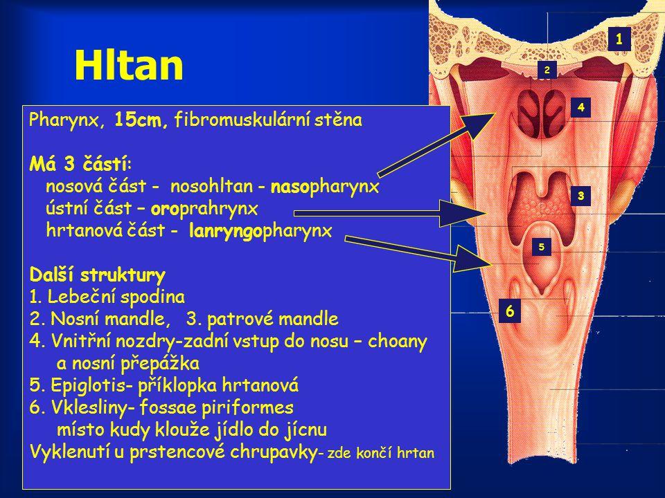 Hltan Pharynx, 15cm, fibromuskulární stěna Má 3 částí: