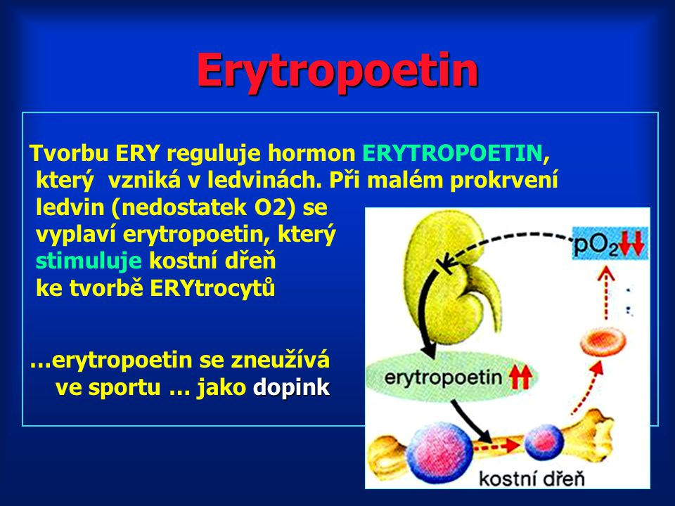 Erytropoetin Tvorbu ERY reguluje hormon ERYTROPOETIN,
