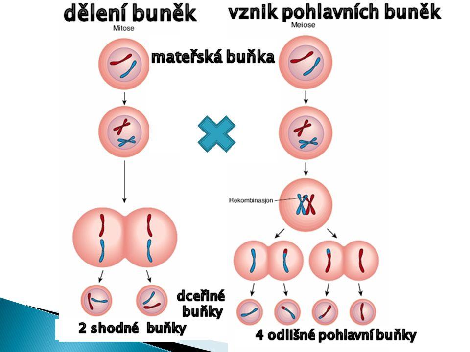 vznik pohlavních buněk 4 odlišné pohlavní buňky