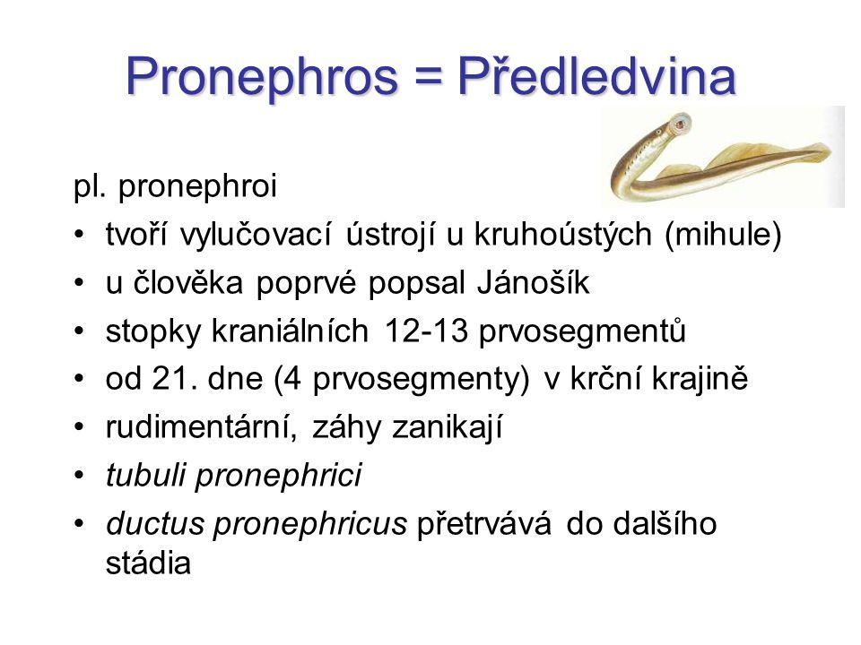 Pronephros = Předledvina