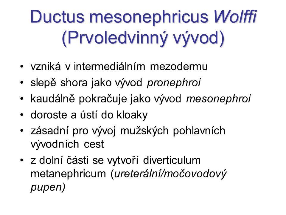 Ductus mesonephricus Wolffi (Prvoledvinný vývod)