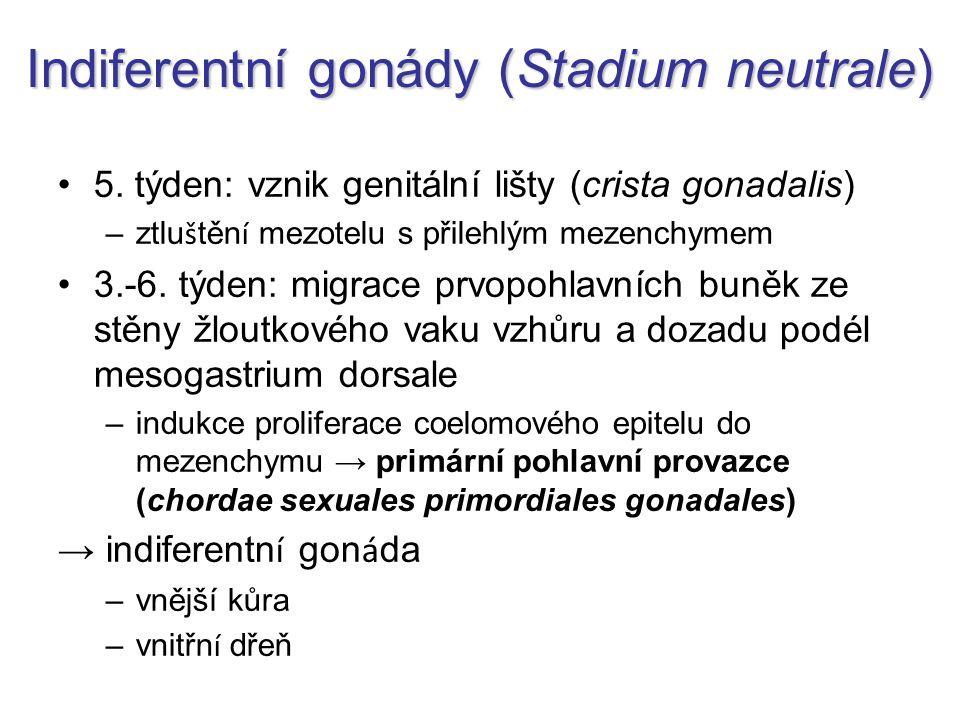 Indiferentní gonády (Stadium neutrale)
