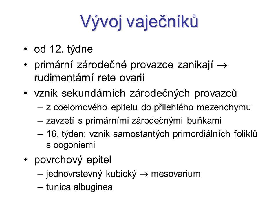 Vývoj vaječníků od 12. týdne