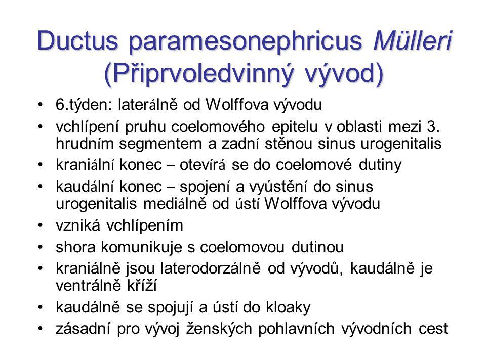 Ductus paramesonephricus Mülleri (Připrvoledvinný vývod)
