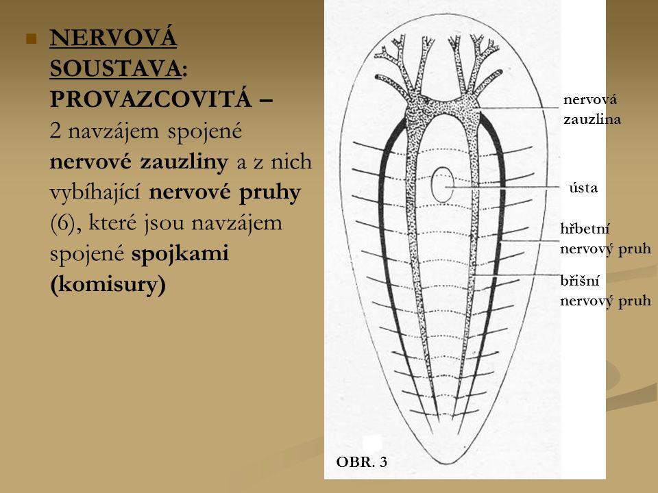 OBR. 3 nervová. zauzlina. ústa. hřbetní. nervový pruh. břišní.