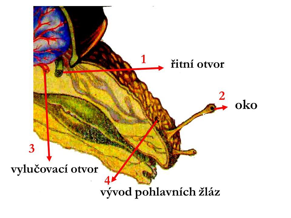 1 řitní otvor 2 oko 3 vylučovací otvor 4 vývod pohlavních žláz