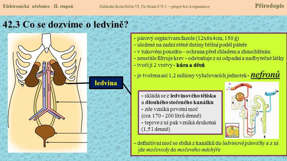 42.3 Co se dozvíme o ledvině ledvina