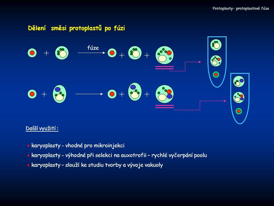 + + + + + + Dělení směsi protoplastů po fúzi fúze Další využití :