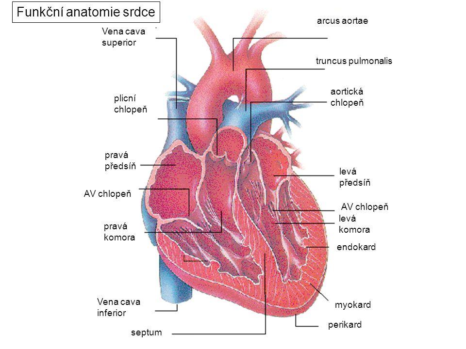 Funkční anatomie srdce