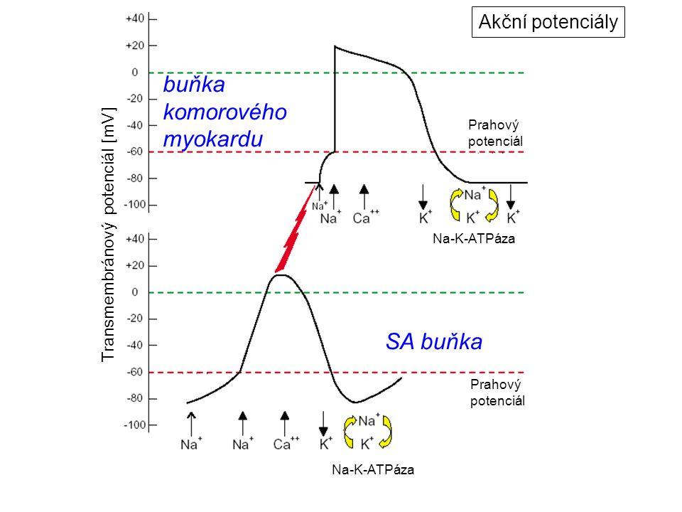 buňka komorového myokardu SA buňka Akční potenciály