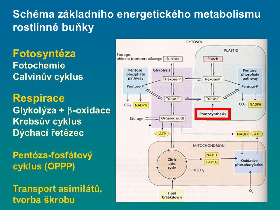 Schéma základního energetického metabolismu rostlinné buňky