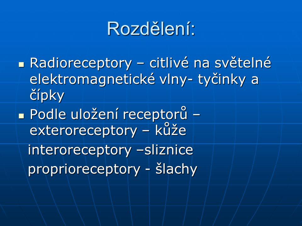 Rozdělení: Radioreceptory – citlivé na světelné elektromagnetické vlny- tyčinky a čípky. Podle uložení receptorů – exteroreceptory – kůže.