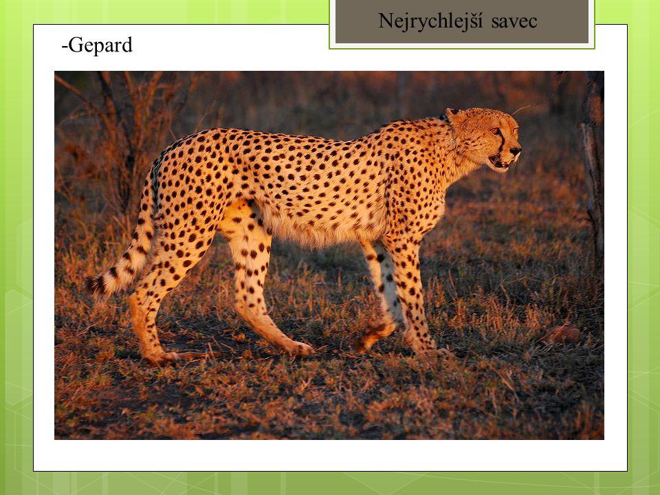 Nejrychlejší savec -Gepard