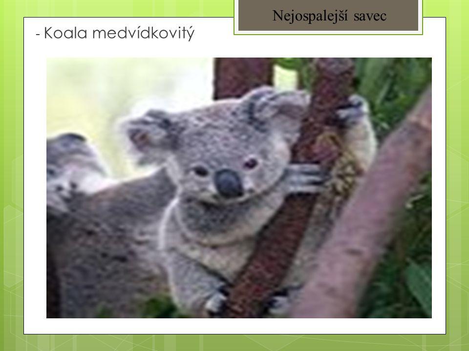 Nejospalejší savec - Koala medvídkovitý