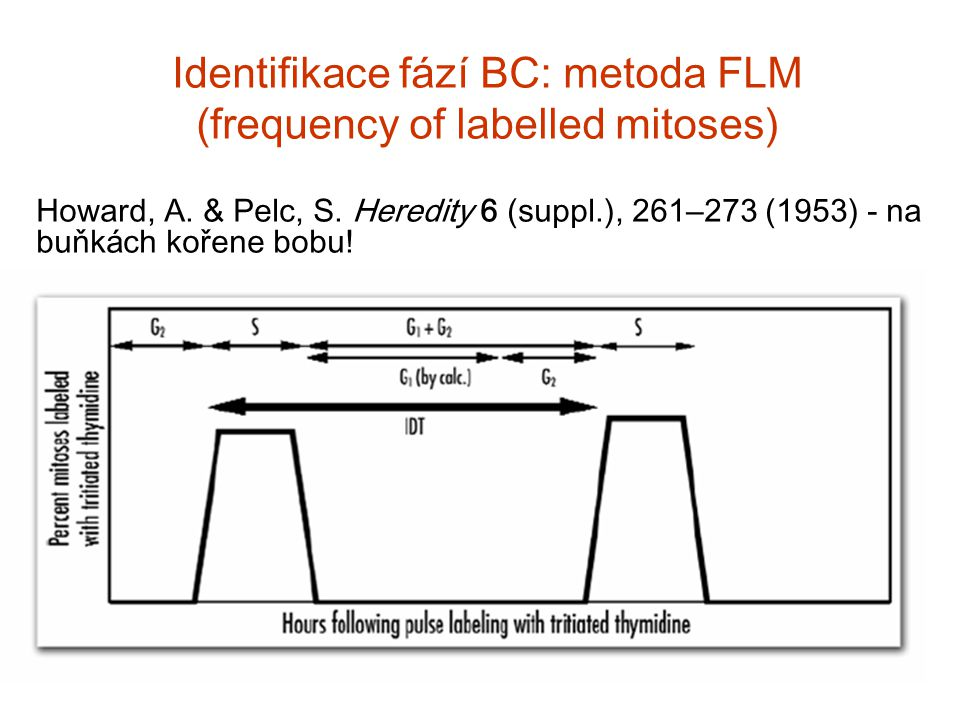 Identifikace fází BC: metoda FLM (frequency of labelled mitoses)