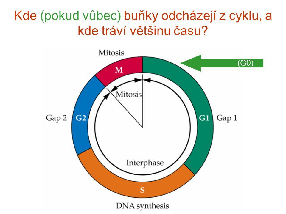 Kde (pokud vůbec) buňky odcházejí z cyklu, a kde tráví většinu času