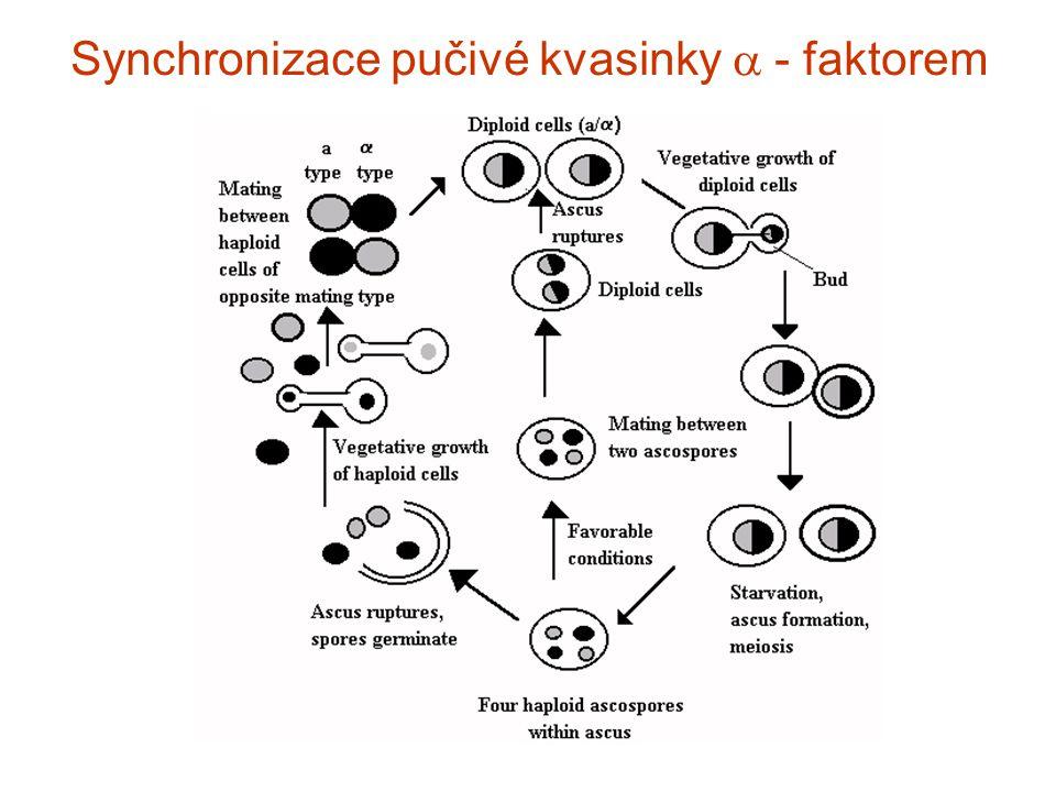 Synchronizace pučivé kvasinky a - faktorem
