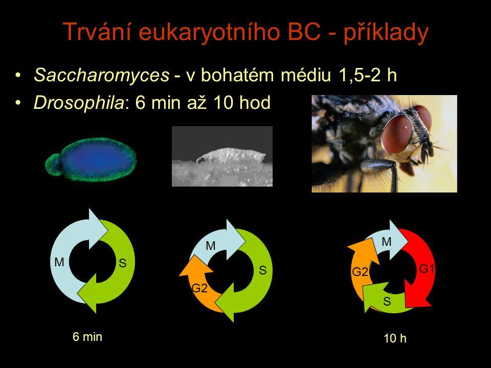 Trvání eukaryotního BC - příklady