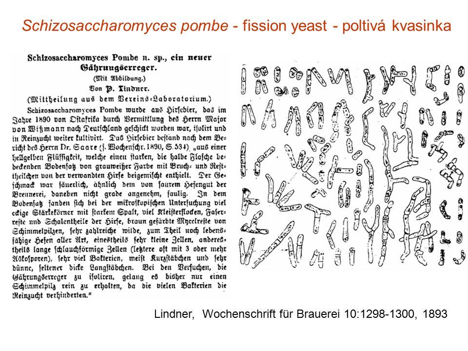 Schizosaccharomyces pombe - fission yeast - poltivá kvasinka