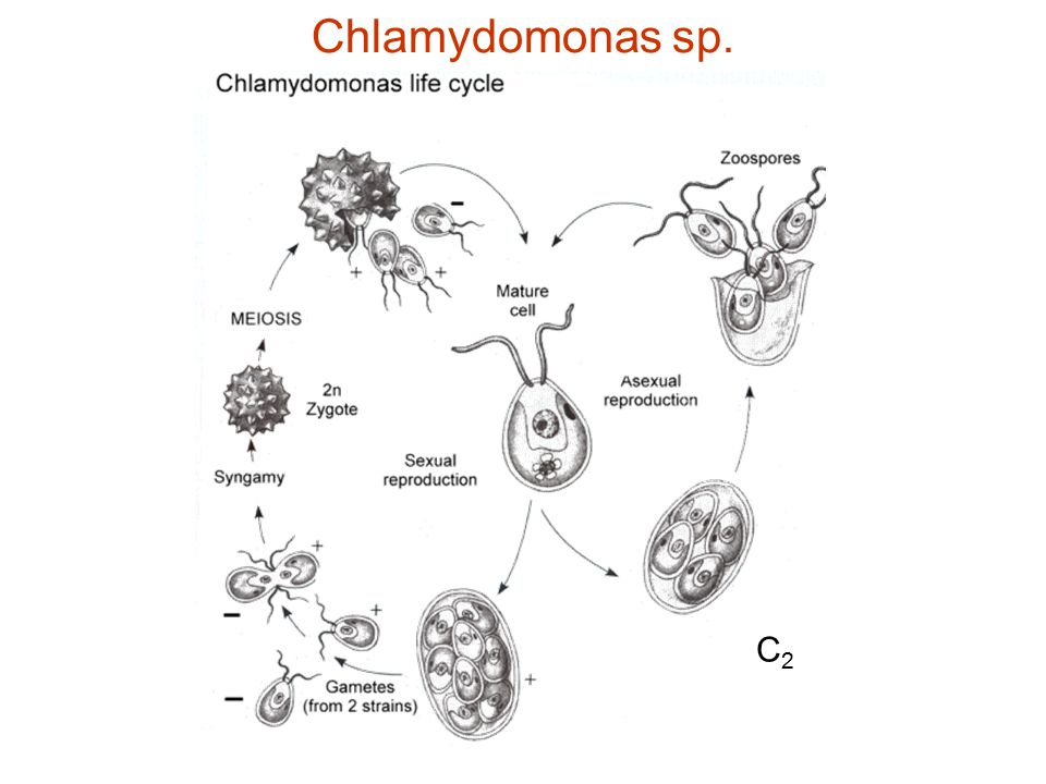 Chlamydomonas sp. C2