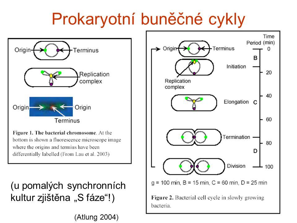 Prokaryotní buněčné cykly
