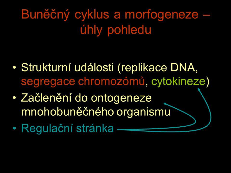 Buněčný cyklus a morfogeneze – úhly pohledu