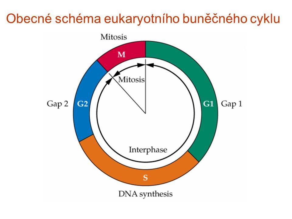 Obecné schéma eukaryotního buněčného cyklu
