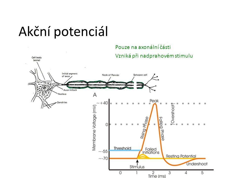 Akční potenciál Pouze na axonální části Vzniká při nadprahovém stimulu