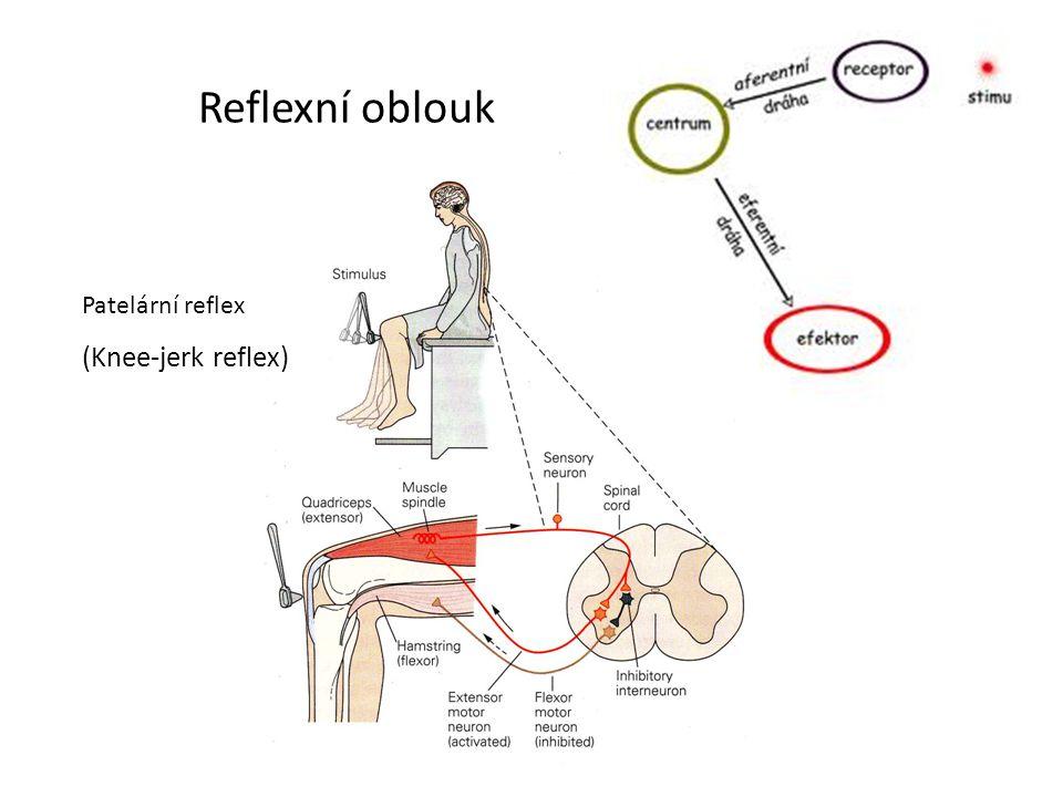 Reflexní oblouk Patelární reflex (Knee-jerk reflex)