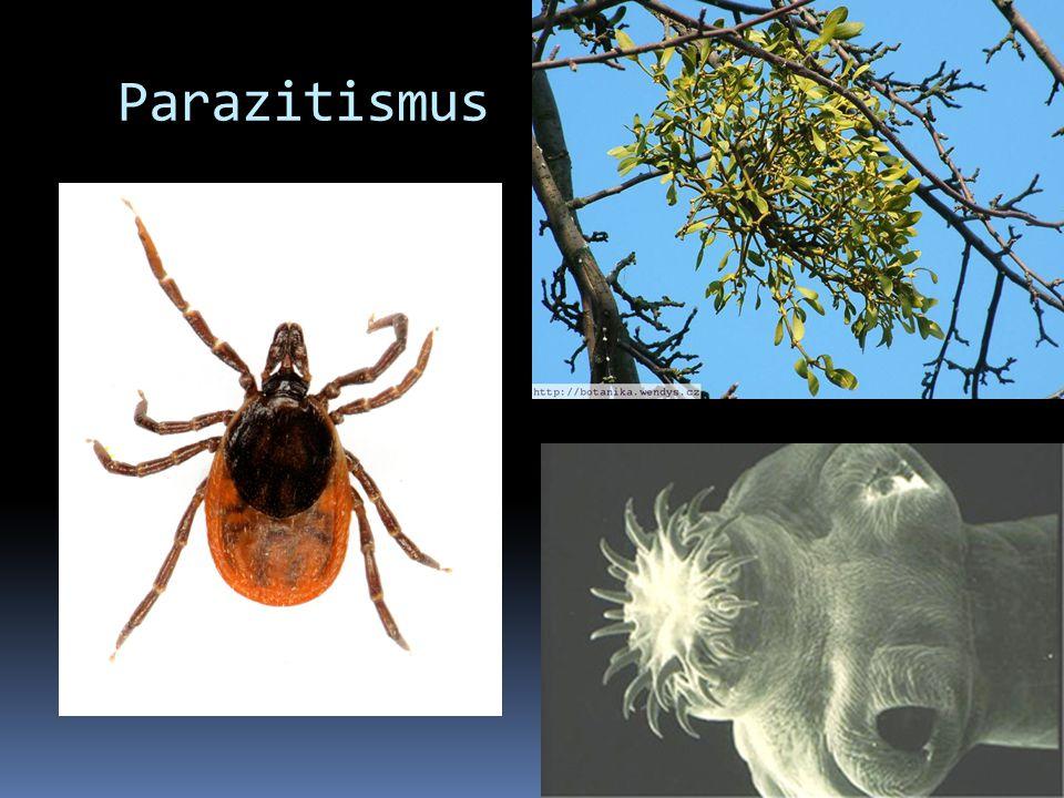 Parazitismus Jeden druh získává potravu ze žijícího těla jiného druhu (hostitel) Klíště, jmelí, tasemnice.