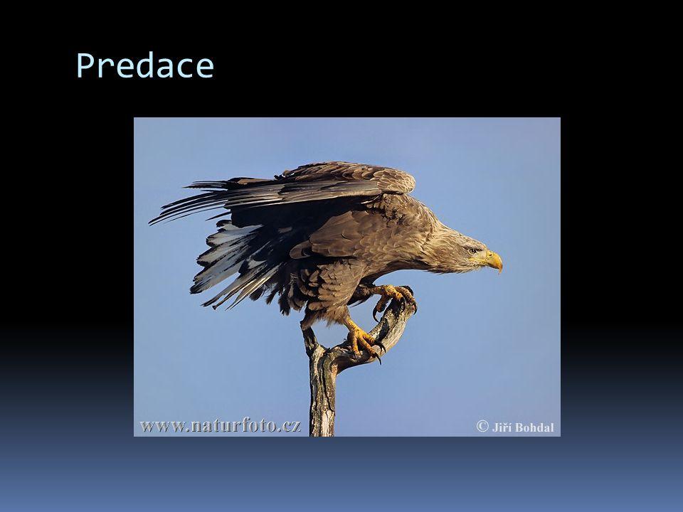 Predace Jeden druh zabýjí jiný druh (kořist) jako potravu