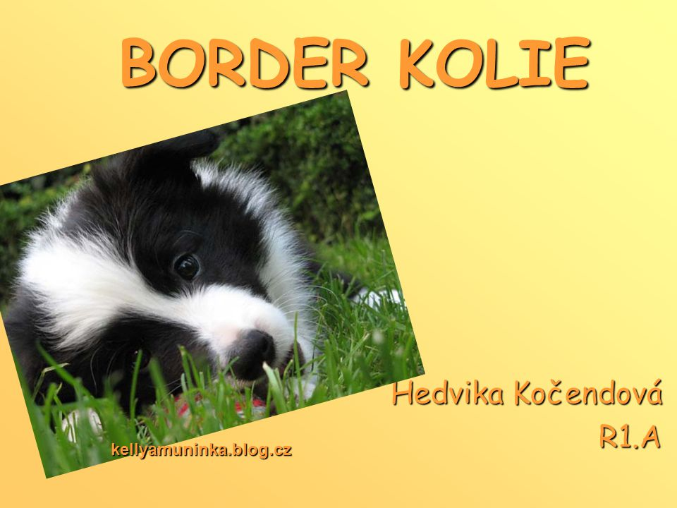 BORDER KOLIE Hedvika Kočendová R1.A kellyamuninka.blog.cz