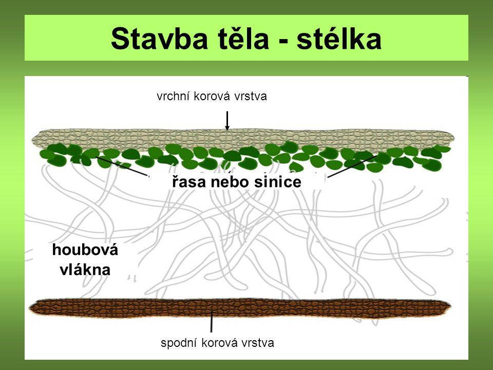 Stavba těla - stélka řasa nebo sinice houbová vlákna