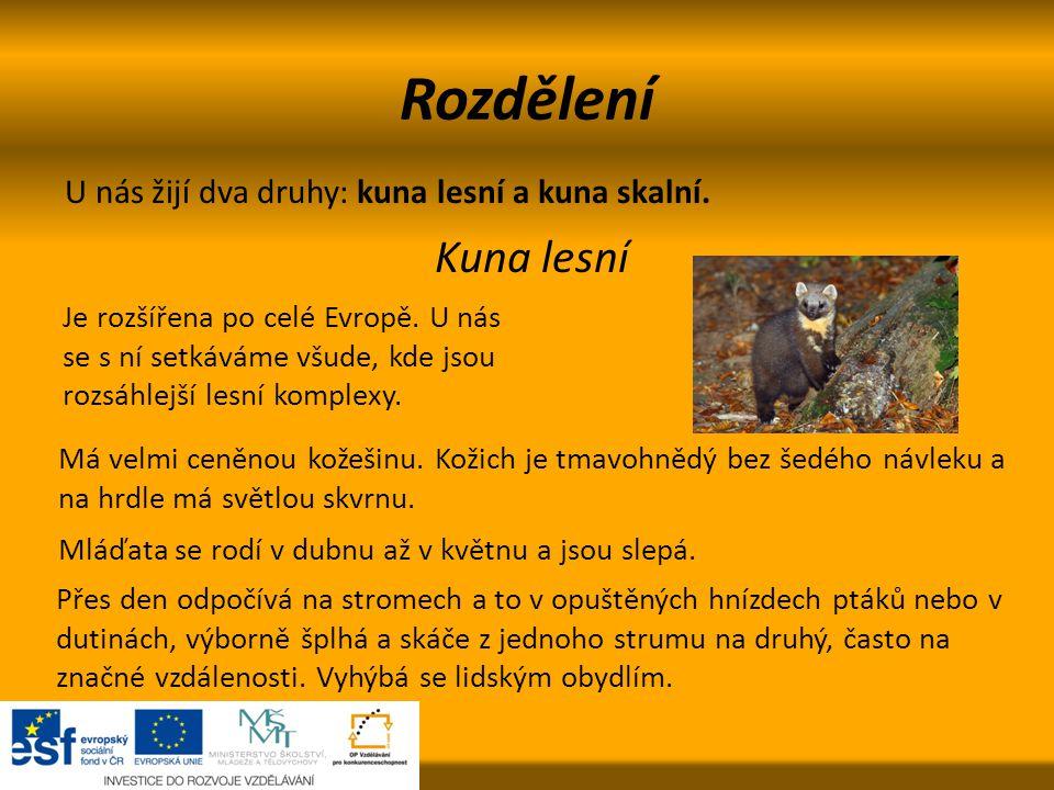 Rozdělení Kuna lesní U nás žijí dva druhy: kuna lesní a kuna skalní.