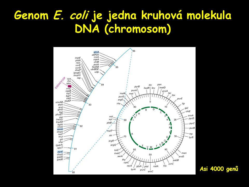 Genom E. coli je jedna kruhová molekula DNA (chromosom)