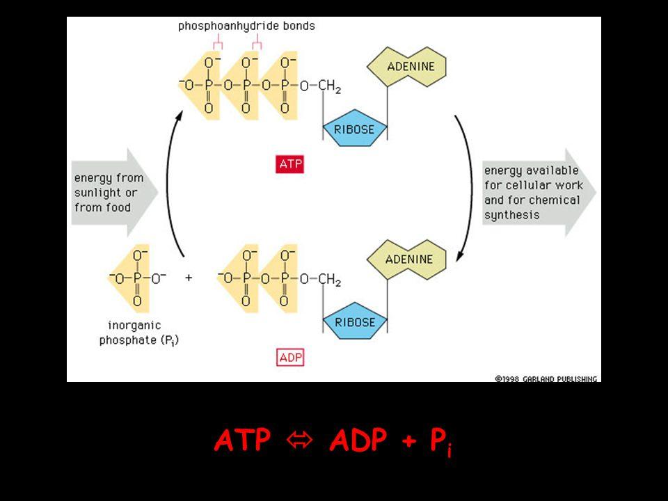 ATP  ADP + Pi