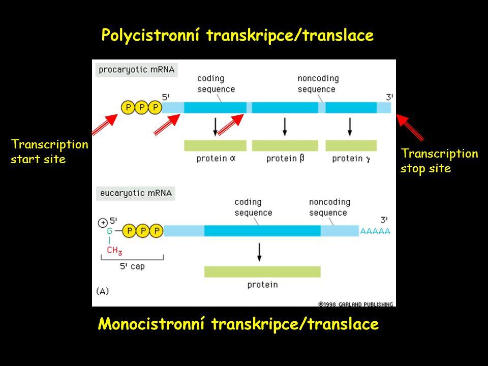 Polycistronní transkripce/translace