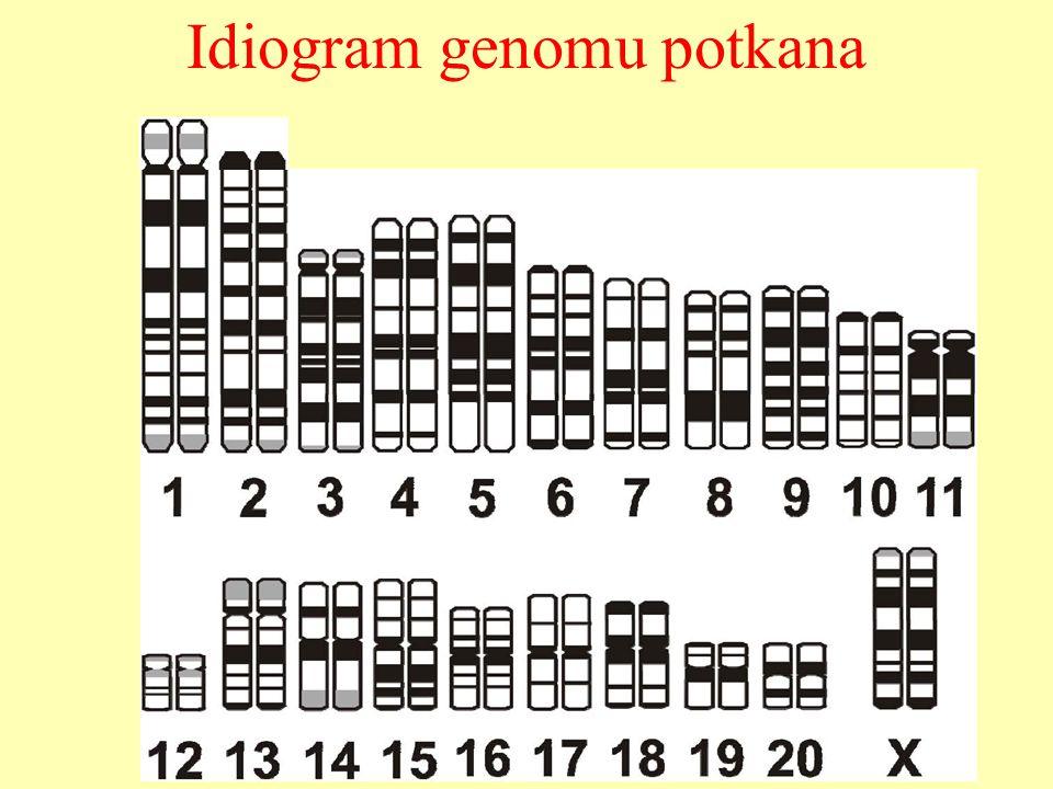 Idiogram genomu potkana