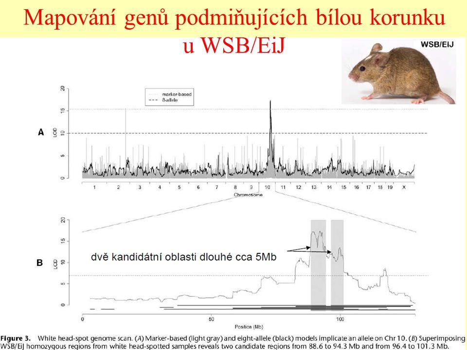 Mapování genů podmiňujících bílou korunku u WSB/EiJ