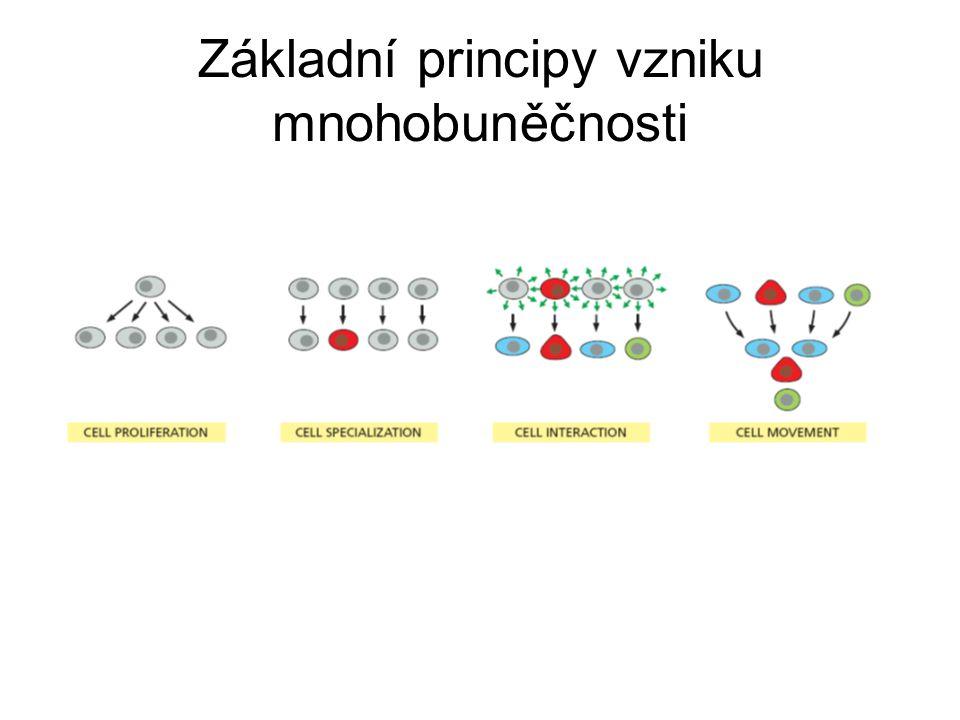 Základní principy vzniku mnohobuněčnosti