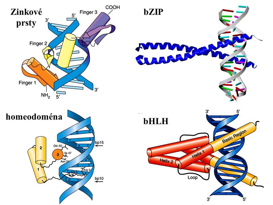 Zinkové prsty bZIP homeodoména bHLH